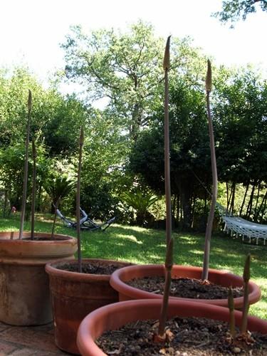 fiore, infiorescenza, bulbo, pianta misteriosa, bulbosa, foglia lanceolata, soleggiato, giardino, giardinaggio, botanica