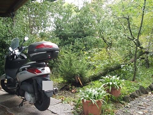 quercia, giardino, tromba d'aria, ramo, cerambyx cerdo, coleottero, parassita, tramba aria, giardinaggio, legna, potatura